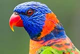 Rainbow Lorikeet at Jurong bird park, Singapore - Click for larger image