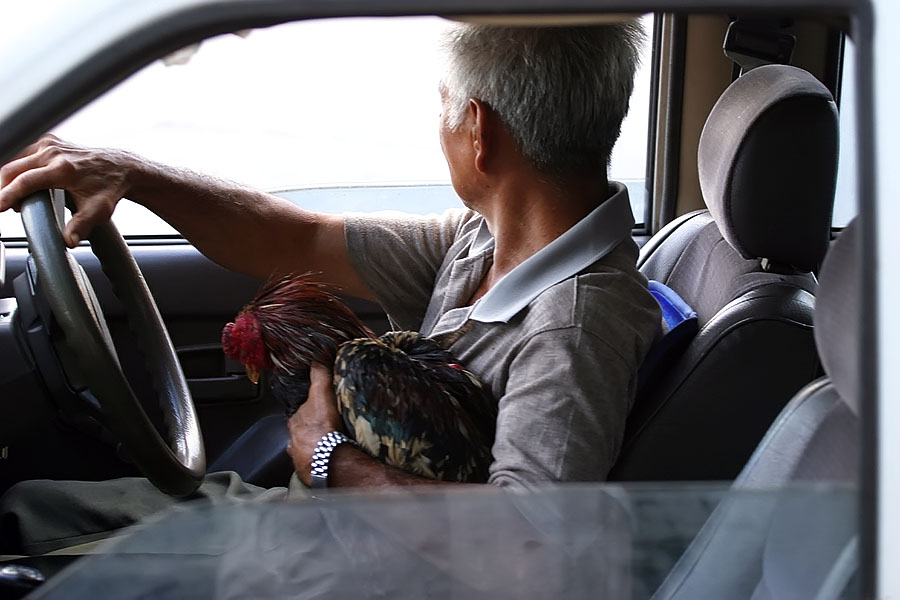 This chicken is breaking the law by not wearing a seatbelt