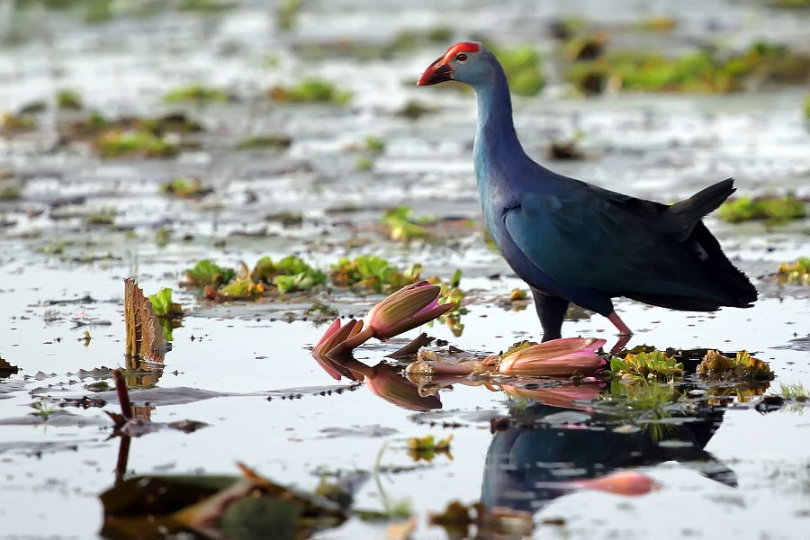 Purple swamphen at Thale Noi, Phattalung province, Thailand