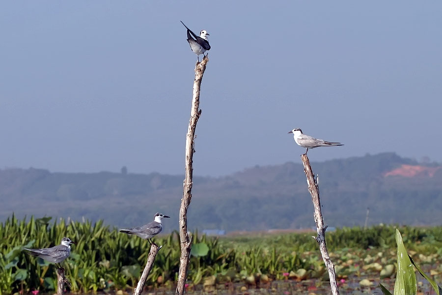 Birds perched at Thale Noi, Phattalung province, Thailand