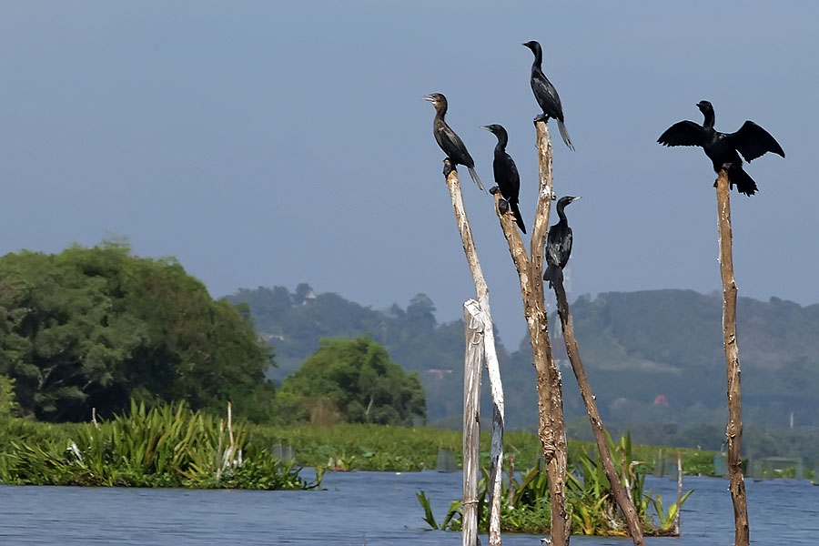Perched cormorants at Thale Noi, Phattalung province, Thailand