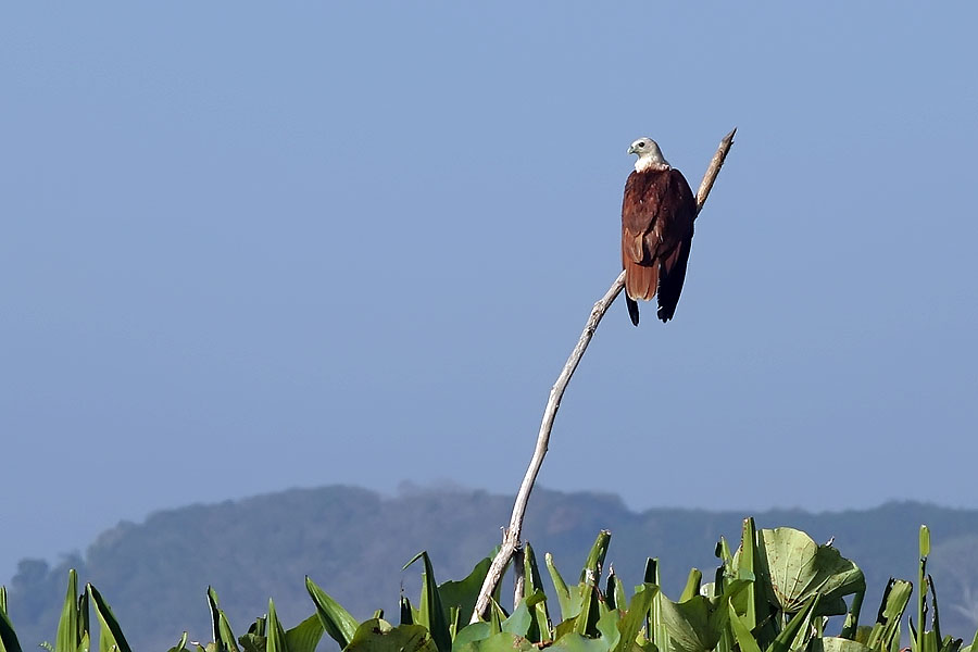 Brahminy kite at Thale Noi, Phattalung province, Thailand