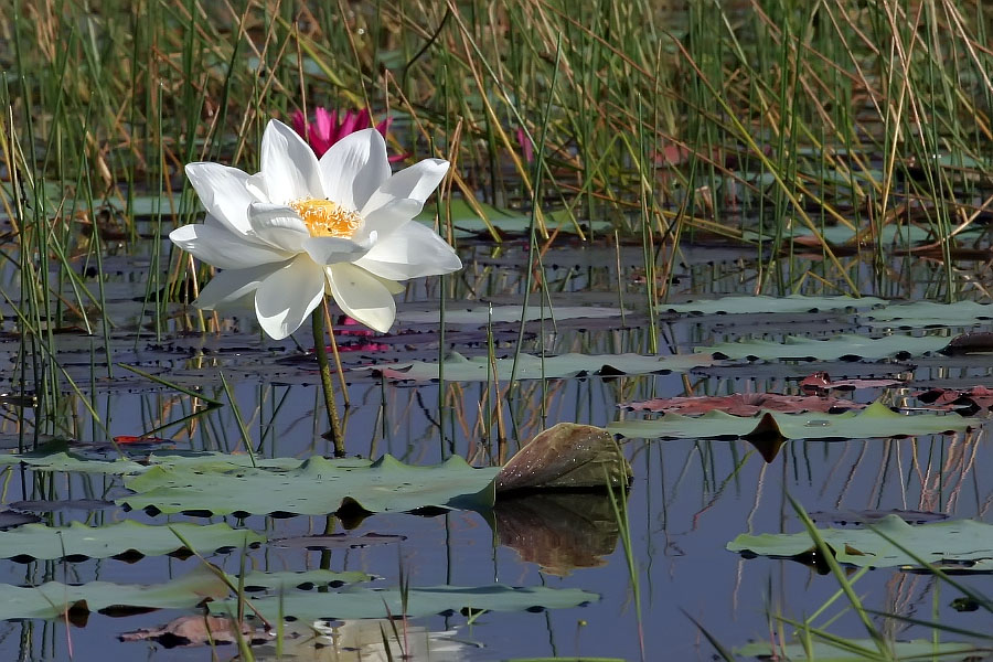 White lotus flower at Thale Noi, Phattalung province, Thailand