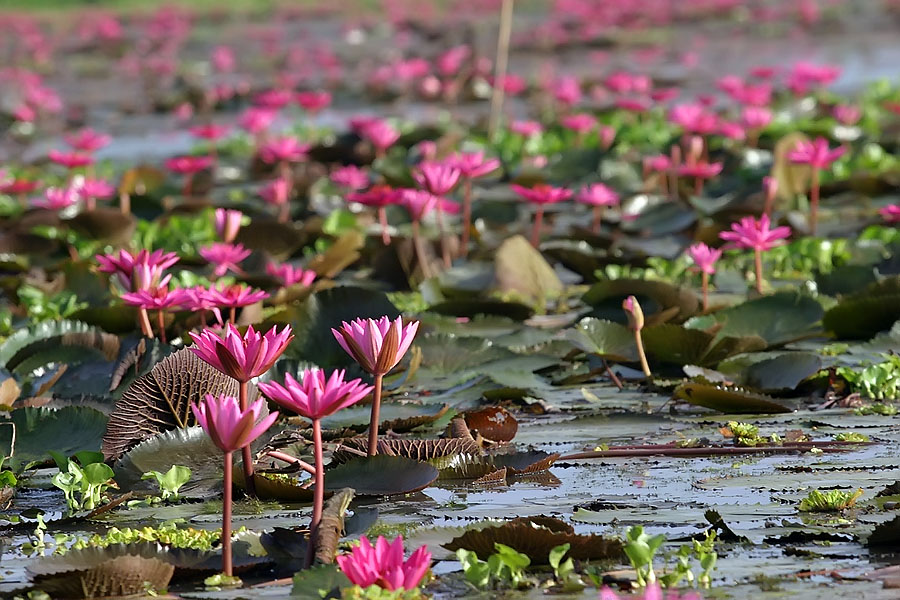 More lotus flowers at Thale Noi, Phattalung province, Thailand