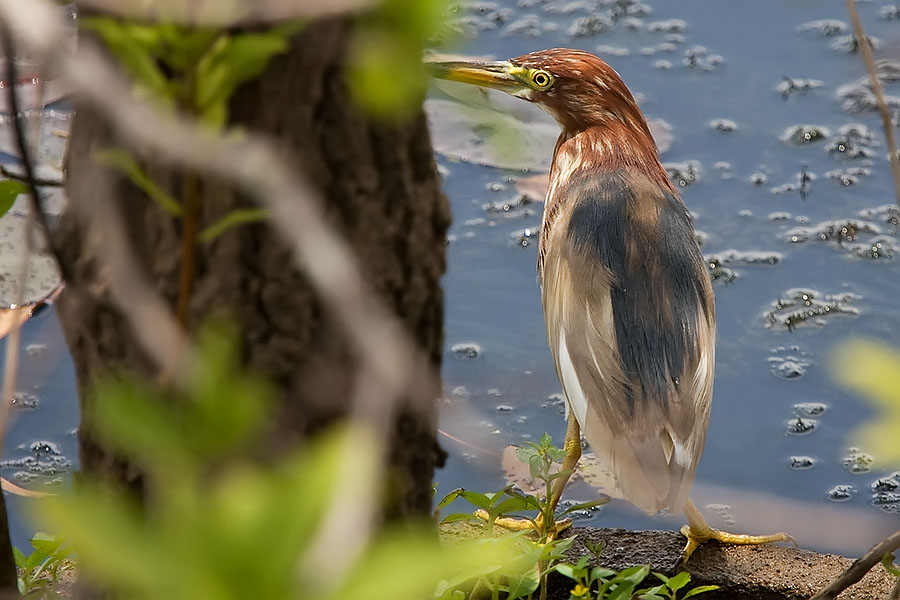Chinese pond heron (Ardeola bacchus) at Thale Noi
