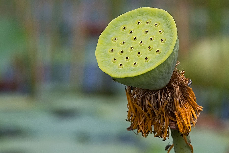 Empty lotus flower at Thale Noi, Phattalung province, Thailand