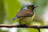 Brown-throated Sunbird - Click for larger image