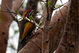 Greater Flameback - Click for larger image