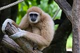 Gibbon at Songkhla zoo, Thailand - Click for larger image